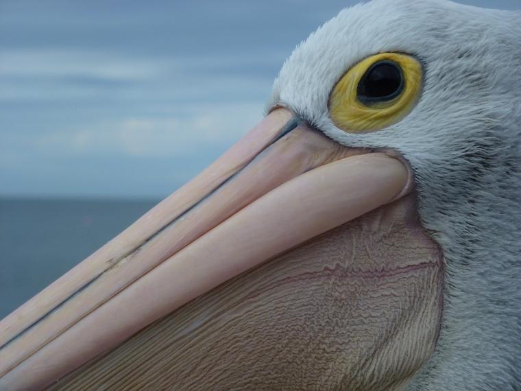 Pelican waiting for fish
