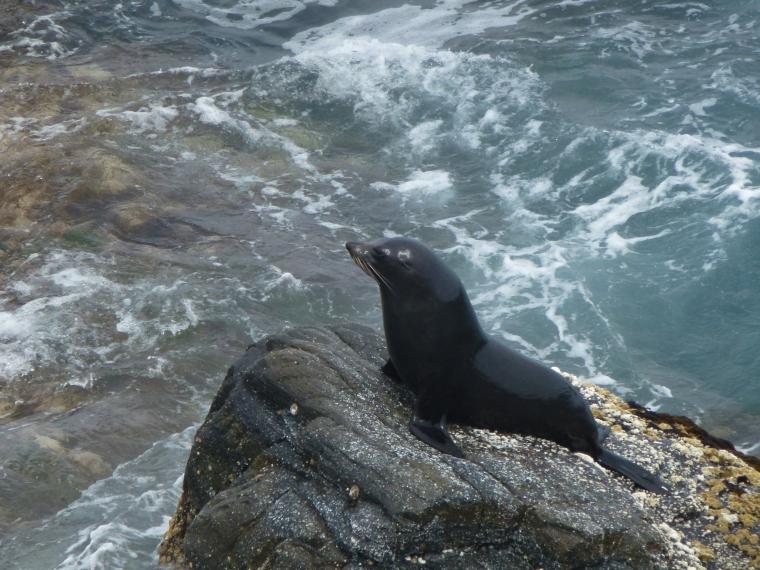 A (suspected) penguin muncher