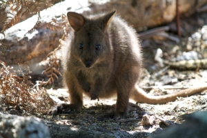 Pademelon at campsite