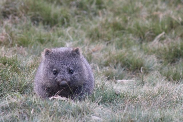 Baby wombat!