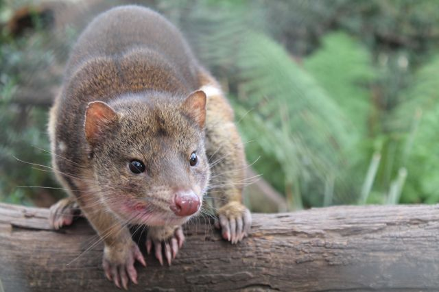 Spotted tail quoll