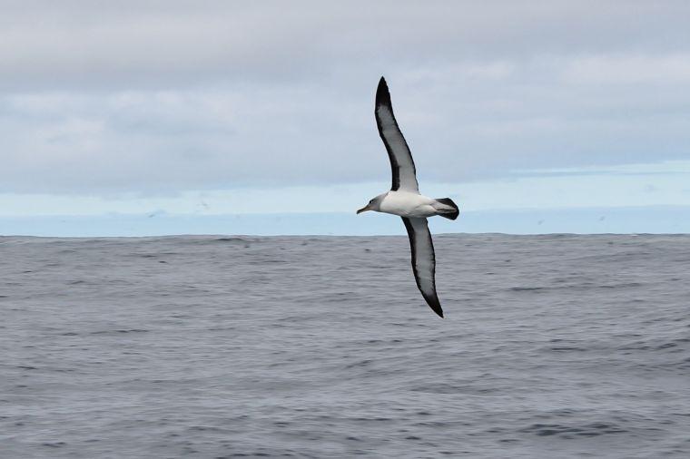 Albatross!