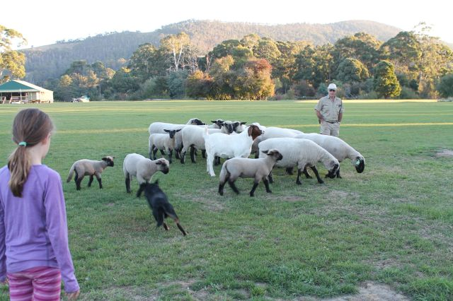 Sheep dog work